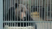 grognon : Big ours assis dans une cage close up