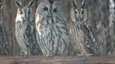 cipreste : Several curious eared owls sitting on pole Vídeos