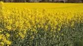 Canola fields or Rapeseed plant Stok Video
