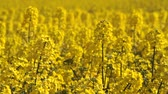foco seletivo : Canola fields or Rapeseed plant Stock Footage