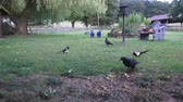 magpies : Two crows and 2 magpies share the peanuts at the feeding place Stock Footage