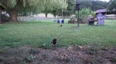 salgueiro : Two magpies collect peanuts and pick them up with their beaks Stock Footage