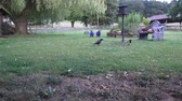 nut : The crow asserts itself at the feeding place opposite a thieving magpie