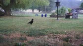 somun : The smart crow collects a peanut and flows away Stok Video