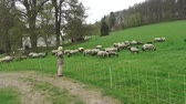 group of animal : Lambs and sheep together on the pasture - The lambs learn to jump in the air. Stock Footage
