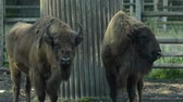 wisent : European bisons Stock Footage