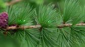Demonstration of green laser beam in nature using a branch of larch tree with strobilus. Vídeos