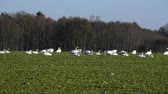 Whooper swans Cygnus cygnus feeding and having rest during their transmigration through Estonia. Vídeos