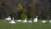 Whooper swans Cygnus cygnus feeding and having rest .