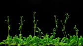 Growth of thale cress (Arabidopsis thaliana) 4-weeks-old seedlings, time lapse recording.