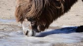 Bactrian camel (Camelus bactrian) is eating ice.