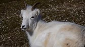 Dall sheep (Dalls sheep), Ovis dalli, is a species of sheep native to northwestern North America. Vídeos