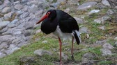 Black Stork (Ciconia nigra) is a large wading bird in the stork family Ciconiidae. Vídeos