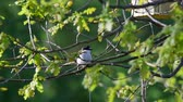 Singing European pied flycatcher (Ficedula hypoleuca) on young oak-tree