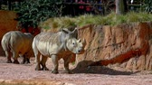 afryka : White rhinocerus (Ceratotherium simum) lives in the African Savannahs Wideo