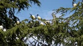 животные : African sacred ibis (Threskiornis aethiopicus) nesting on a large larch tree.