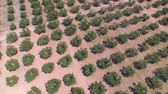 toscana : AERIAL: Flying above big olive tree field in sunny summer
