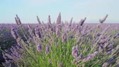 lavanda : CLOSE UP: Fragrant flowers of lavender blooming in early summer Stock Footage