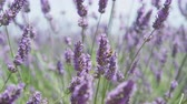 pasturing : CLOSE UP: Bees pasturing on beautiful blooming lavender in sunny spring Stock Footage