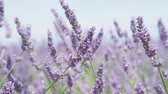 pasturing : CLOSE UP: Bees collecting honey on a beautiful blooming lavender field