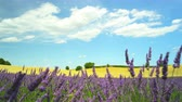 lavanda : Stunning agricultural landscape with yellow wheat field and violet lavender