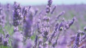 pasturing : CLOSE UP: Bees collecting honey in endless field of blooming lavender
