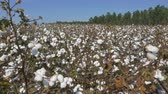 kész : CLOSE UP: Agricultural field full of white cotton bolls