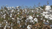 CLOSE UP: Agricultural field full of raw cotton bolls Stok Video