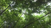 shining : CLOSE UP: Lush bamboo forest on a tropical island Stock Footage
