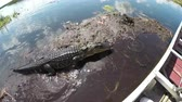 nilo : Airboat guide in Everglades swamp feeding huge alligator