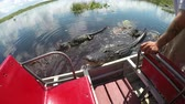 encounter : Airboat guide in Everglades swamp feeding huge alligator