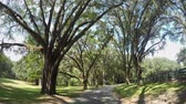 louisiana : SLOW MOTION: Big beautiful live oak avenue with spanish moss in sunny summer