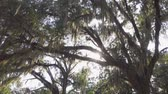 louisiana : SLOW MOTION CLOSE UP: Summer sun shining through live oak tree canopy with beautiful spanish moss hanging from big branches in amazing nature park in Southern America Stock Footage