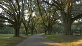 louisiana : SLOW MOTION: Big beautiful live oak avenue with spanish moss in sunny summer morning