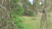 louisiana : SLOW MOTION CLOSE UP MACRO: Beautiful romantic spanish moss on live oak tree branches in sunny summer Stock Footage