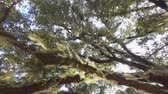 louisiana : SLOW MOTION CLOSE UP: Beautiful romantic spanish moss on live oak tree branches in sunny summer