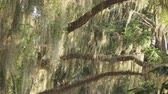 louisiana : SLOW MOTION: Beautiful Romantic spanish moss on big live oaks swinging in summer breeze in amazing nature park in Southern America Stock Footage