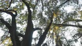 louisiana : CLOSE UP: Sunbeams shining through big majestic live oak with romantic spanish moss on branches in amazing nature park in Southern America Stock Footage