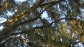 louisiana : CLOSE UP: Romantic spanish moss on big majestic live oak in sunny summer