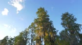 cipreste : Beautiful cypress swamp tree growing out of the water. Lush canopies covered in romantic spanish moss in wetlands swamp on a beautiful summer evening