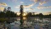 cipreste : Romantic wetlands swamp with water lilies and tall mossy trees at beautiful summer sunset. Golden sun shining through cypress swamp tree canopies covered in amazing spanish moss. Stock Footage
