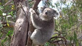 eukaliptus : CLOSE UP: Cute fluffy adult koala hanging on a branch in the shade of an old eucalyptus tree. Adorable koala sitting on a small eucalyptus branch and observing with interest her surroundings