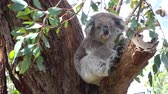 eukaliptus : CLOSE UP: Cute fluffy adult koala stretching herself in the shade of an old eucalyptus tree. Adorable sleepy koala sitting on a big eucalyptus branch, yawning and relaxing Wideo