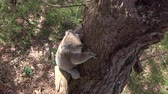 ladrão : CLOSE UP: Cute fluffy adult koala descending from a big old eucalyptus tree to the ground. Adorable koala walking on a small branch in the beautiful Australian forest, exploring the woods