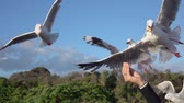 aves marinhas : SLOW MOTION CLOSE UP: Cute, brave seagull flying towards a young girls hand and grabbing a piece of bread from her. Fearless bird catching a piece of food while flying in the air Stock Footage