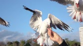 захват : SLOW MOTION CLOSE UP: Cute, brave seagull flying towards a young girls hand, trying to grab a piece of bread from her and failing at it. Fearless bird trying to take a piece of food