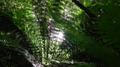 günışınları : SLOW MOTION CLOSE UP DOF: Big tall old lush fern growing in overgrown lush wild jungle. Sun shining through dense green weeds. Large ancient fairytale fern growing in primeval untouched rainforest