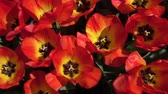 abriu : CLOSE UP, SLOW MOTION: Birds eye view of lovely wide opened red tulips blossoming and swinging in summer wind. Beautiful tulip flowers blooming and dancing in soft breeze on warm sunny spring day