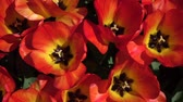луковицы : CLOSE UP, SLOW MOTION: Birds eye view of lovely wide opened red tulips blossoming and swinging in summer wind. Beautiful tulip flowers blooming and dancing in soft breeze on warm sunny spring day