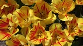 tutku : CLOSE UP, SLOW MOTION: Birds eye view of lovely wide opened yellow tulips with red stripes blossoming and swinging in summer wind. Beautiful tulip flowers blooming and dancing in soft breeze on sunny day Stok Video